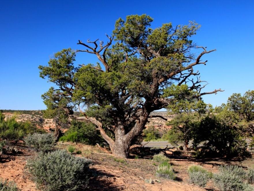Pinon pine trees like this one dominate Rattlesnake Canyon.