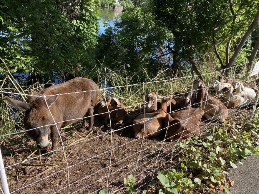 Three Rivers Heritage Trail river nature goats donkey invasive plants