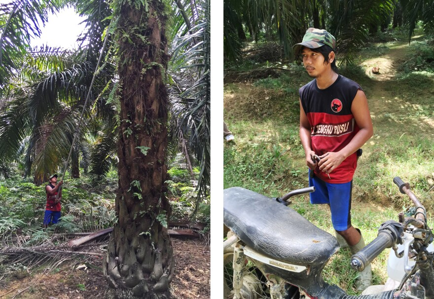 Sugiarto, a palm oil plantation worker who uses only one name, harvests palm fruit on a plantation in North Sumatra province. Sugianto gets around a plantation by motorcycle.