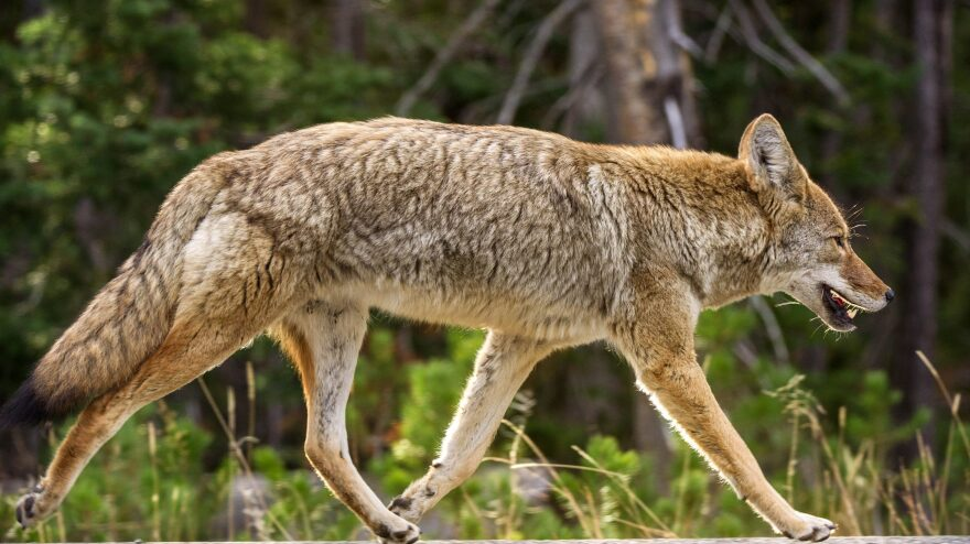 A coyote runs down the road in Wyoming's Yellowstone National Park. In 2018, more than 68,000 coyotes were killed in the U.S., including 5,600 just in Wyoming, under an Agriculture Department program.
