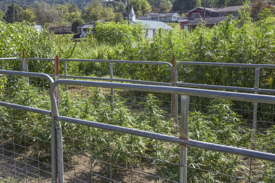 Hemp grown for CBD production and testing is seen at the Robinson Center for Appalachian Resource Sustainability in Quicksand, Ky., on Monday, September 25, 2017.