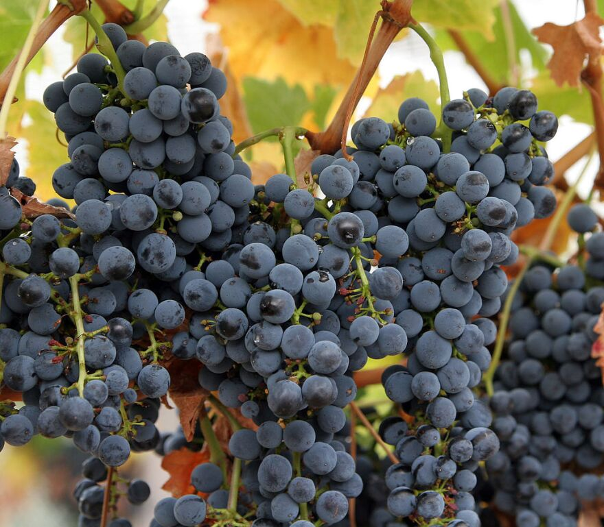 wine_grapes_big_bunch.jpg