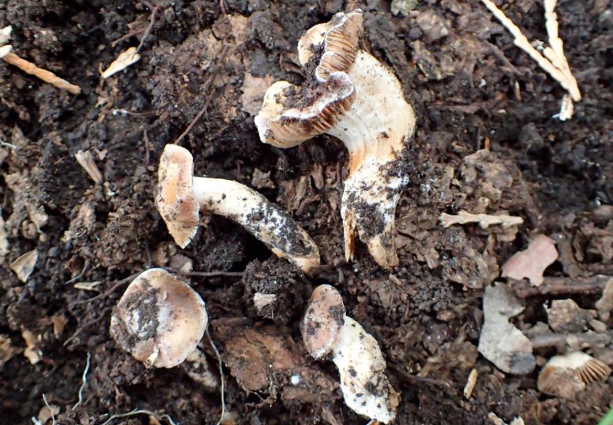 mushroom_cascade_siskiyou_scott_loring.png