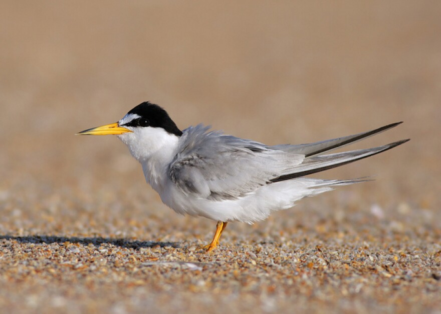 Shorebirds like the least tern nest on beaches and can be scared away by loud noises and bright lights.