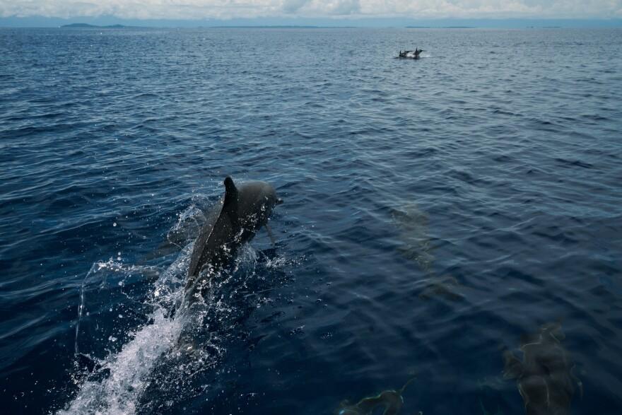 Dolphins swim off the coast of Rabaul.
