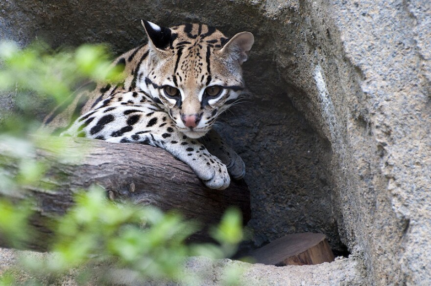 An ocelot at the Houston Zoo. Ocelots are one of the species that could be affected if the Trump administration begins wall construction in U.S. Fish and Wildlife refuges along the southern border.
