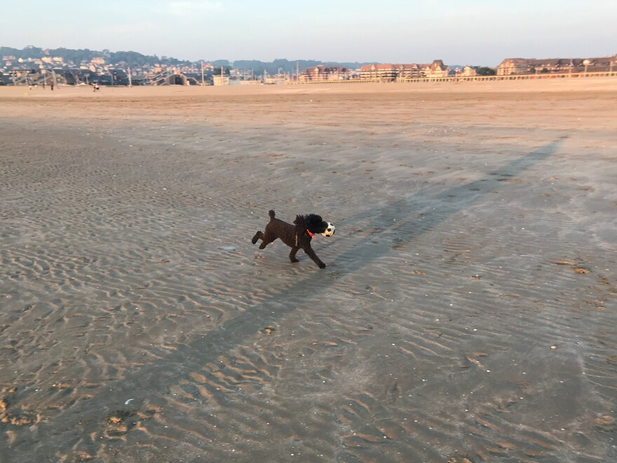 Daisy, the only dog Scott Simon's kids will get, runs on the beach in France.