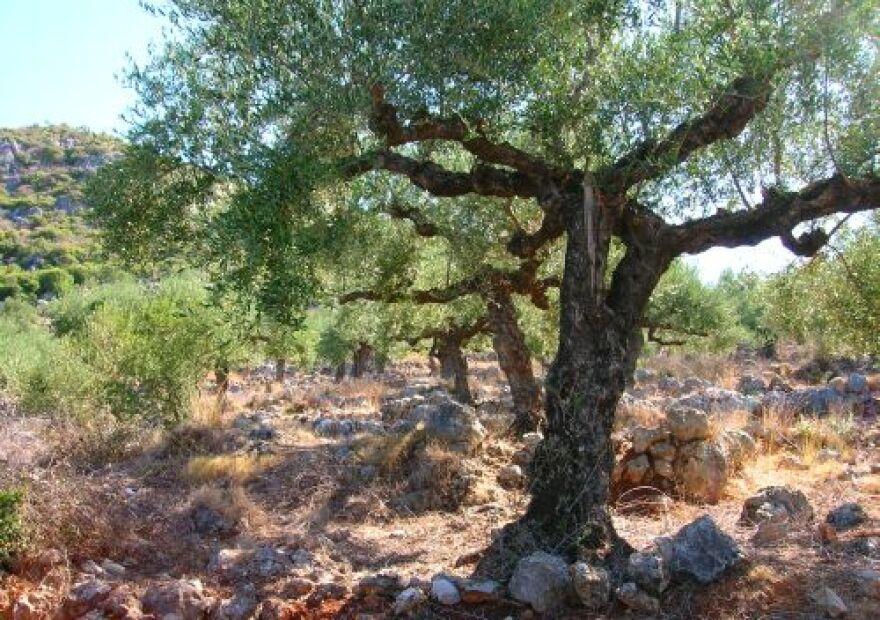 Olive-tree.jpg