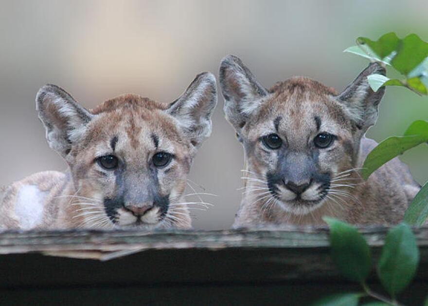 Two small Florida panthers