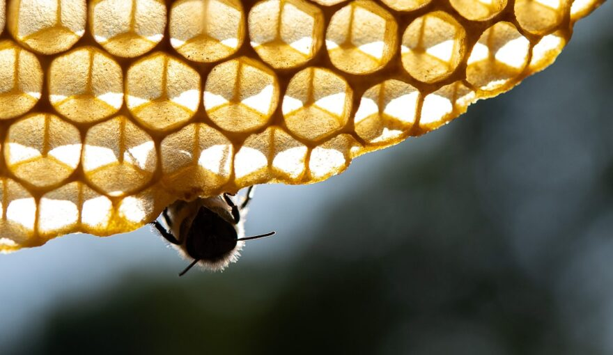 Picture shows a honeybee resting on a comb in Stuttgart, southern Germany.