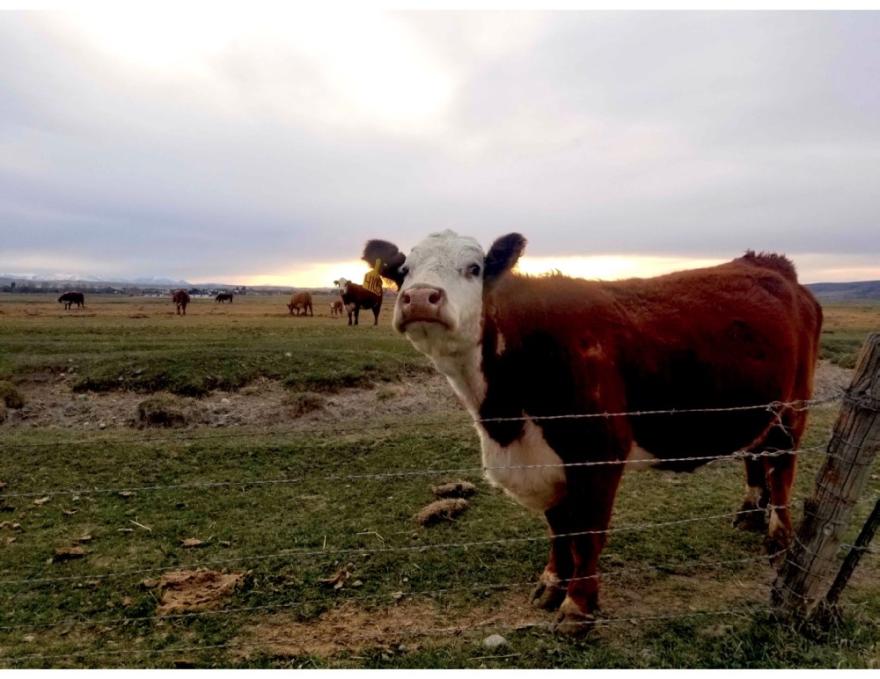 A curious Hereford cow says hello near Manhattan, Montana.