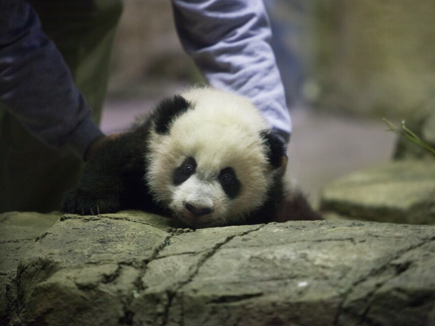 Giant panda cub Bei Bei is introduced to the media at the Smithsonian National Zoological Park on Wednesday in Washington, D.C.