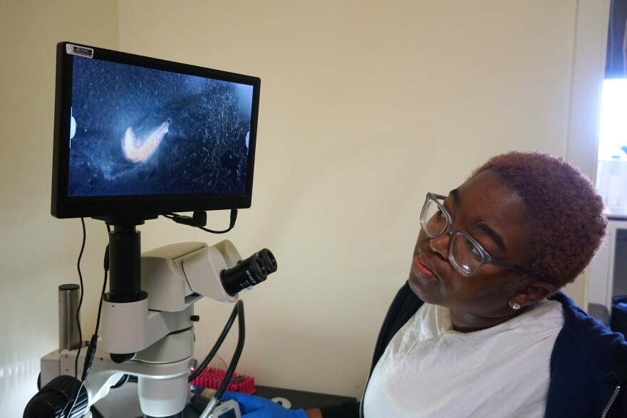 JoRaya Stanford counts the number of times a fruit fly larva contracts its pincer-like jaws in her introductory biology class at Harris-Stowe on June 25, 2019.