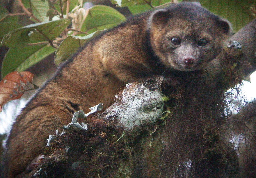 The olinguito is the first carnivore species to be discovered in the Western Hemisphere in 35 years.