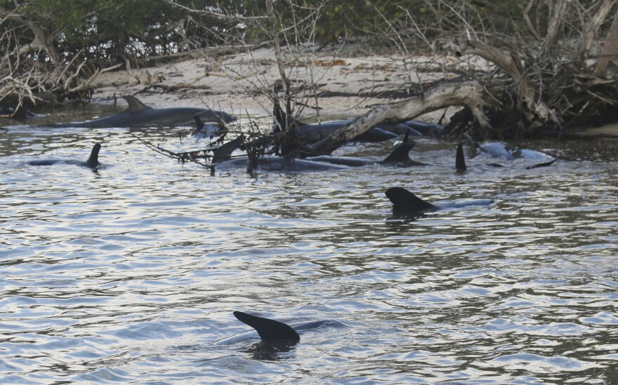 A group of false killer whales is  stranded near the Florida Everglades.