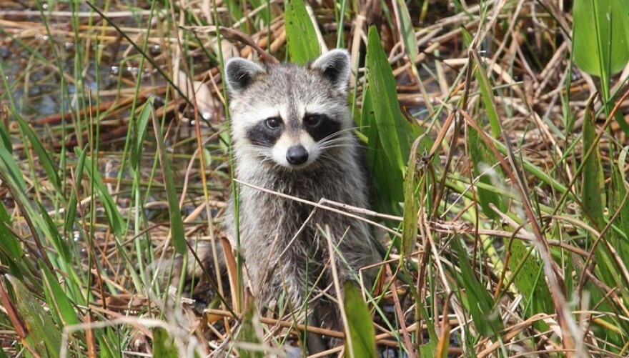 A raccoon checks things out.