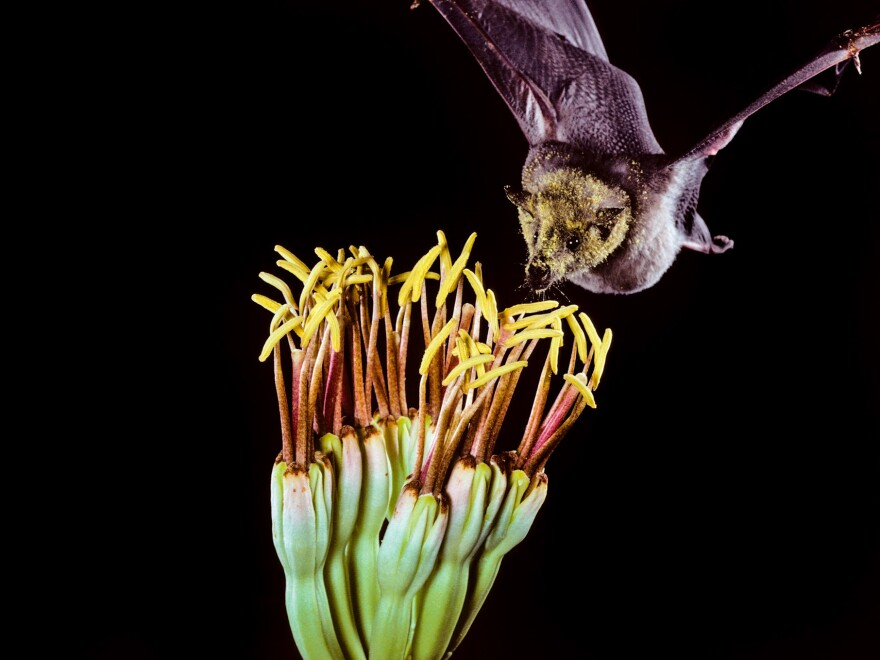 The Mexican long-tongued bat is one of the species that pollinates agave, but its ecosystem is being disrupted by large-scale, cheaper methods of making tequila.