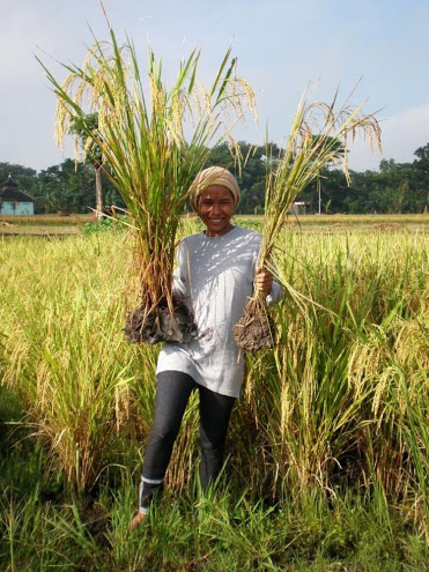 """A farmer in East Java, Indonesia, holds up rice grown in a """"system of rice intensification"""" on the left, and non-SRI rice on the right."""