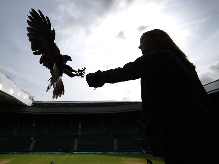 Imogen Davis catches Rufus, a Harris hawk, in the stands above Centre Court at Wimbledon. Rufus scares off pigeons who try to eat the ryegrass on the tennis courts.