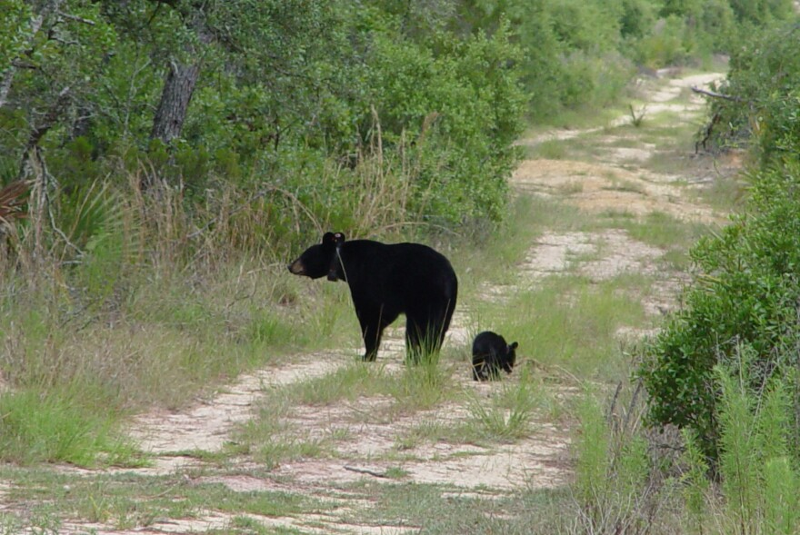 Black bears were placed on the state's threatened list in 1974, when there were between 300 and 500 across Florida. At the time, hunting black bears was limited to three counties. In 1994, the hunting season was closed statewide.