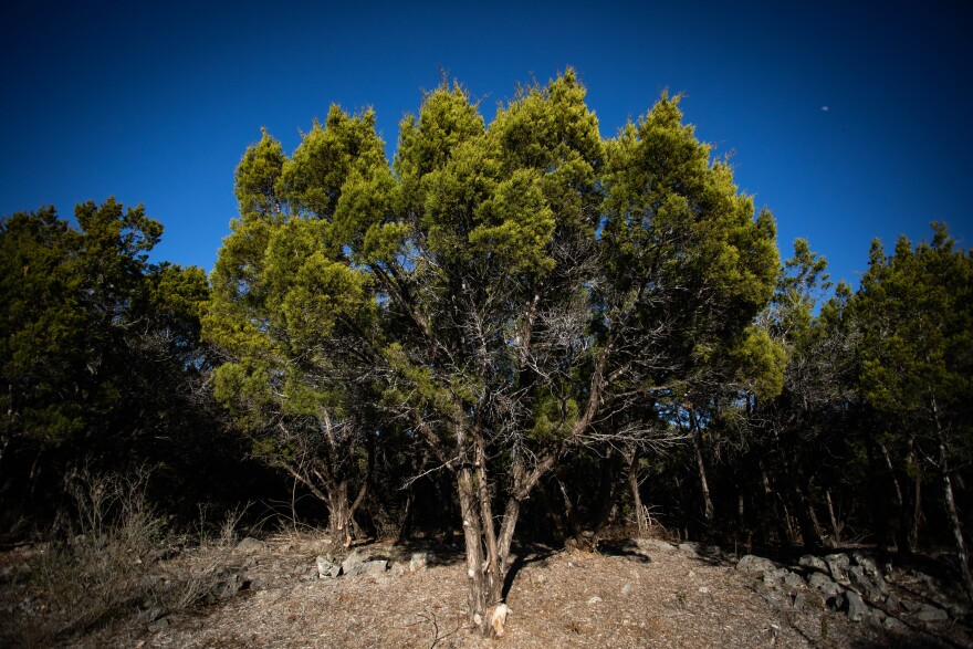 Ashe juniper trees, the primary cause of cedar fever, in Leander.
