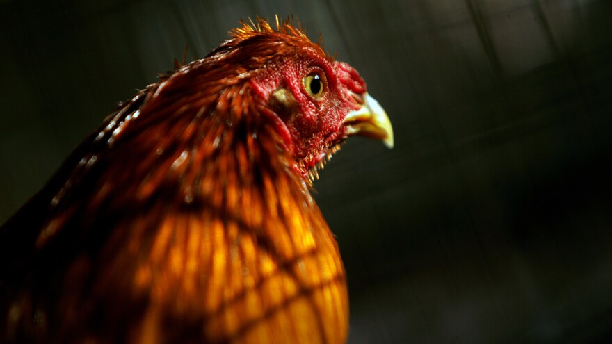 A rooster, bred for fighting, sits inside a cage at a breeding farm in Cabo Rojo, southwestern Puerto Rico.