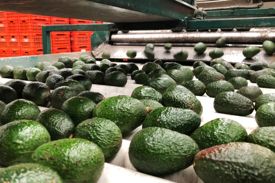 Mexican avocados roll down a production line at Frutas Finas packing plant in Tancitaro, in the western Mexican state of Michoacán. Production has ramped up by 50 percent since December to satisfy demand in the US for Super Bowl Sunday, the highest consumption day of the green fruit by Americans.