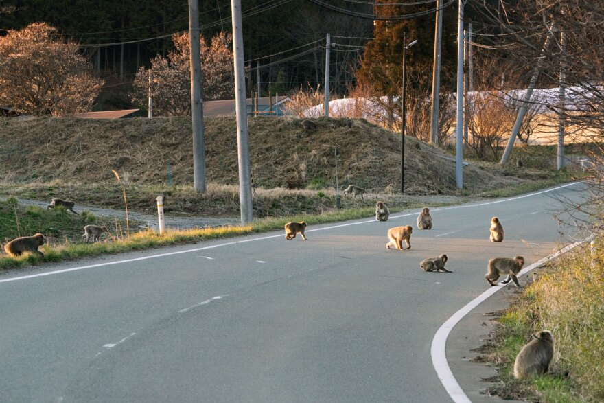 A troop of monkeys scampers across a road in Fukushima prefecture.