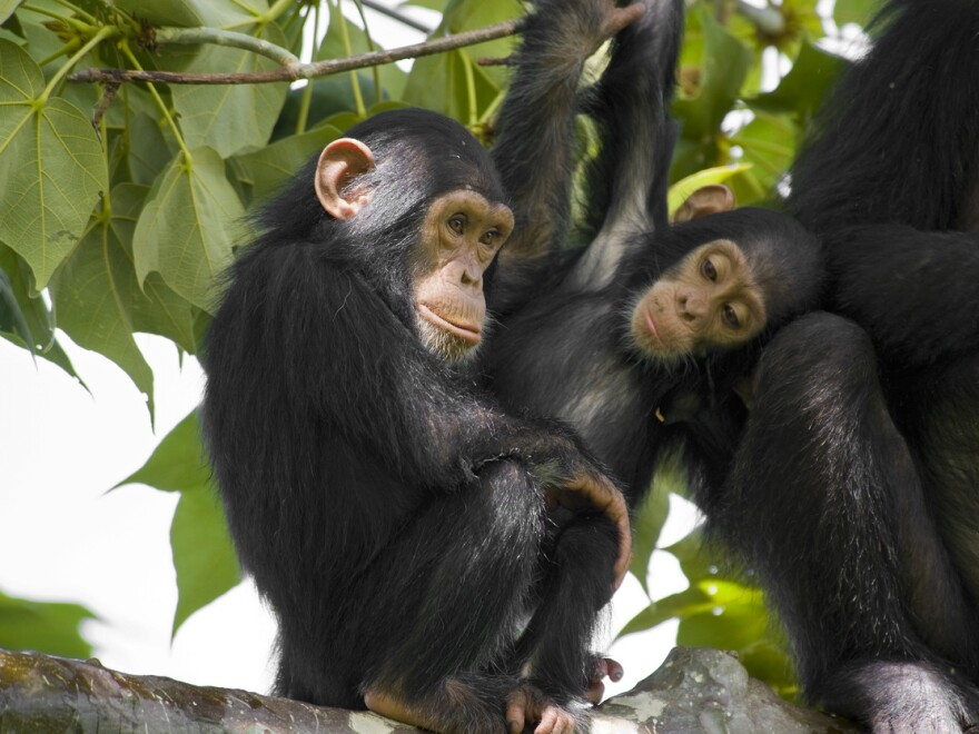 A family of chimpanzees sits on a tree in Gombe Stream National Park in Western Tanzania.