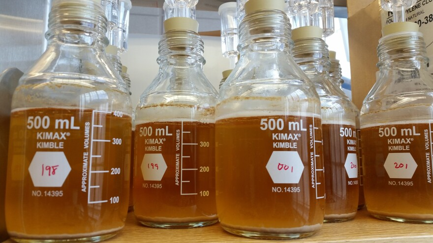 Sour beer has allowed microbiologists an opportunity to find new microbes with applications that could extend beyond simply beer.