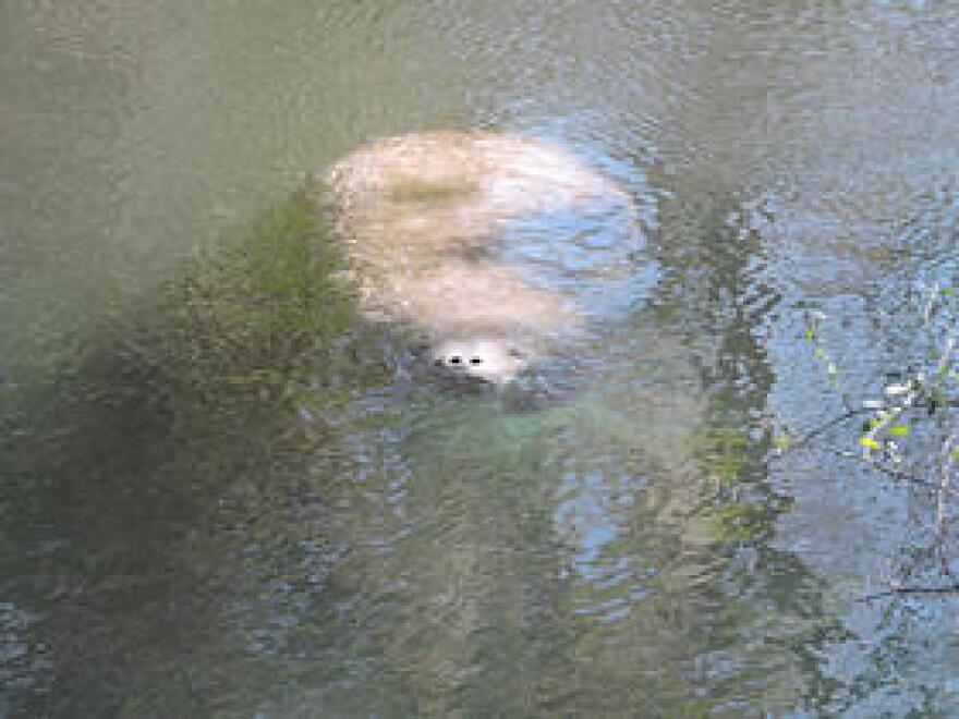 A manatee in Three Sisters Springs in March 2015 comes up for air.