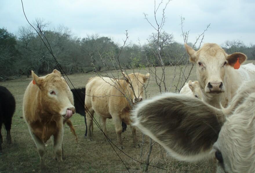 Bastrop_Land,_Cows_018.jpg