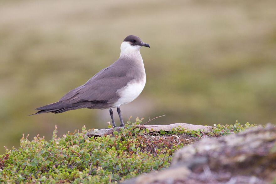 shorebird_parasitic_jaeger.jpg