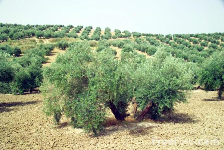 source-olivetrees.jpg