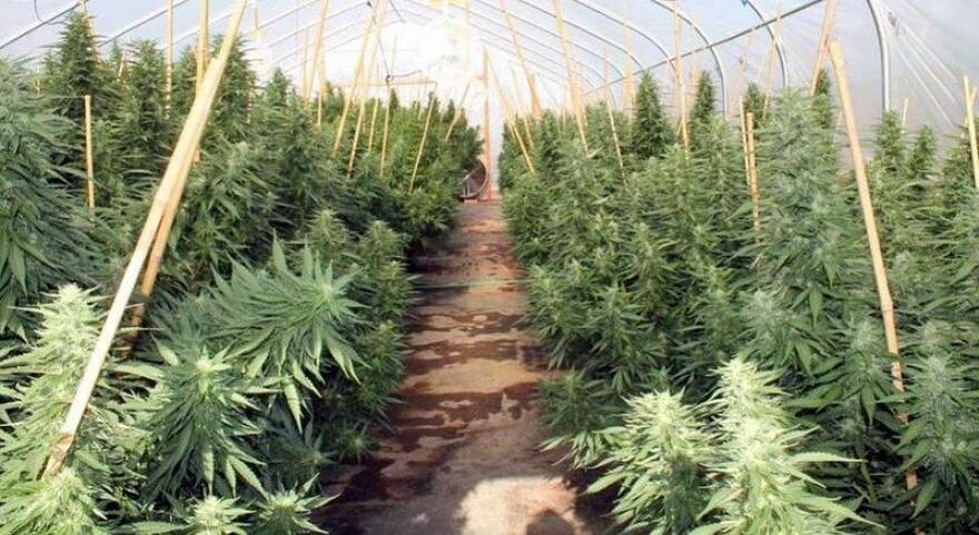 Marijuana plants growing.