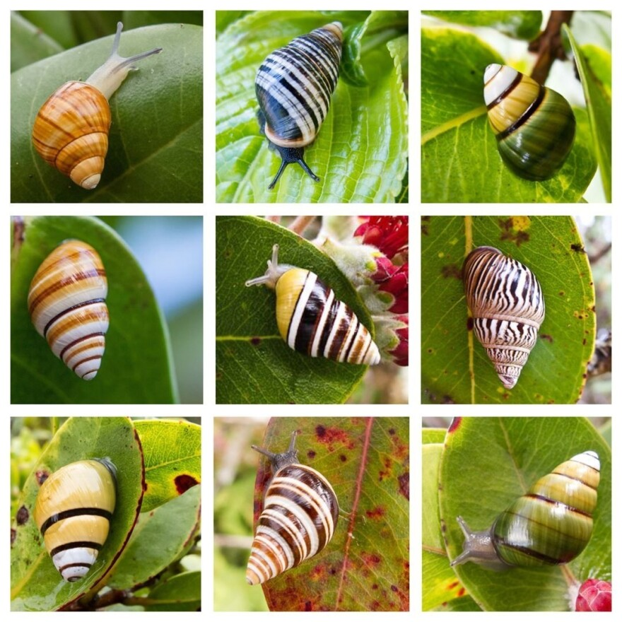 Hawaii's Snail Extinction Prevention Program works to save rare and endangered snail species, like those seen here. These species, endemic to the Hawaiian Islands, occur nowhere else in the world.
