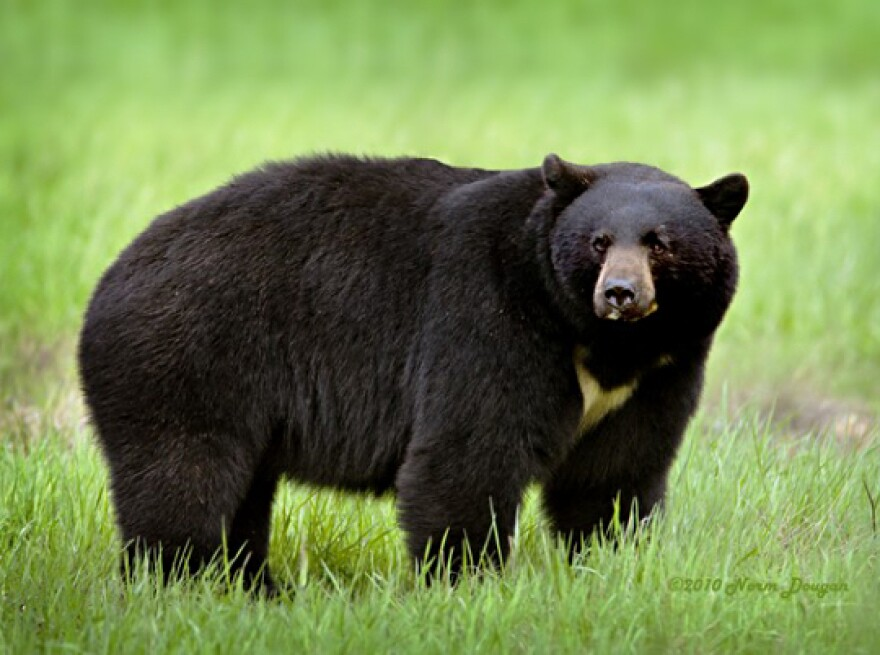 Florida black bears are usually shy, but June is mating season and bears are more active, so state game officials want hikers to carry bear spray and homeowners to consider bear-resistant garbage containers.