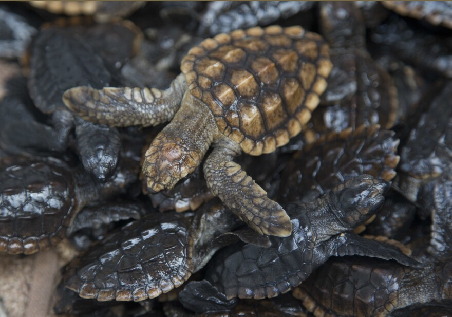 Loggerhead sea turtle hatchlings are packed into containers at the Gumbo Limbo Nature Center before being taken to a U.S. Coast Guard vessel for release in Boca Raton, Fla.