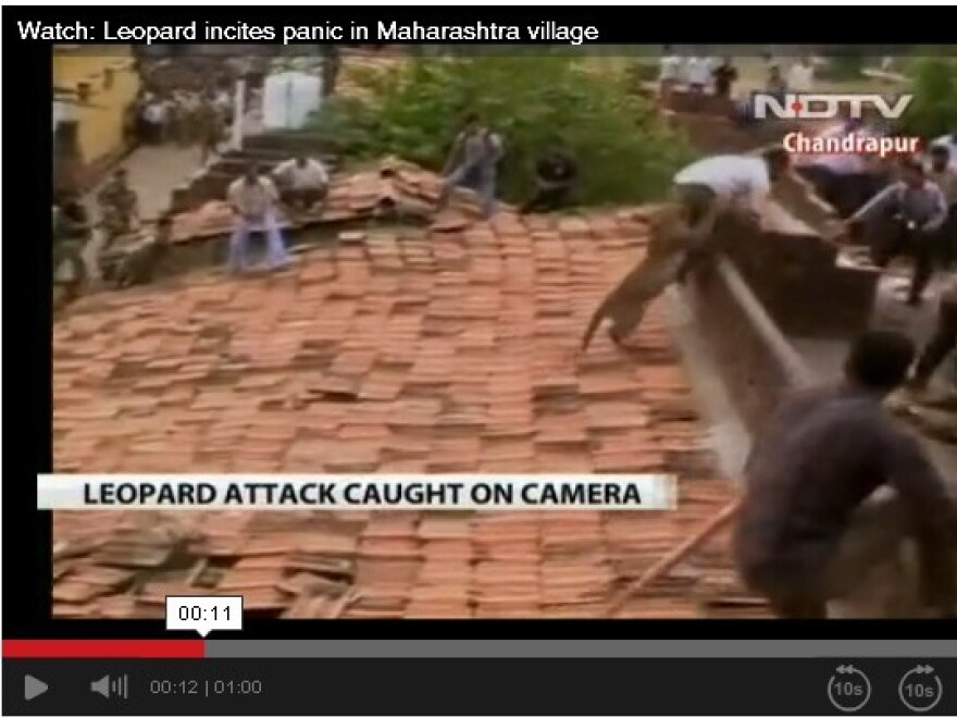 Video of a leopard attacking residents in the town of Chandrapur, Maharashtra, in central India.