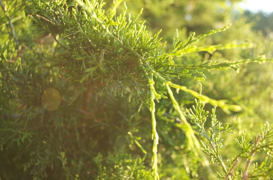 A photo of an eastern red cedar.