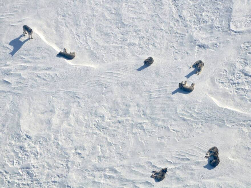 A pack of wolves lounge on a frozen lake in Voyageurs National Park.