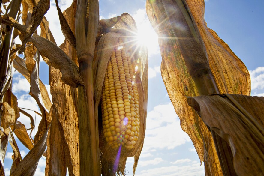 During the day on Aug. 21, large swaths of farmland will be plunged into darkness, and temperatures will drop about 10 degrees. Scientists are waiting to see how crops and animals  react.
