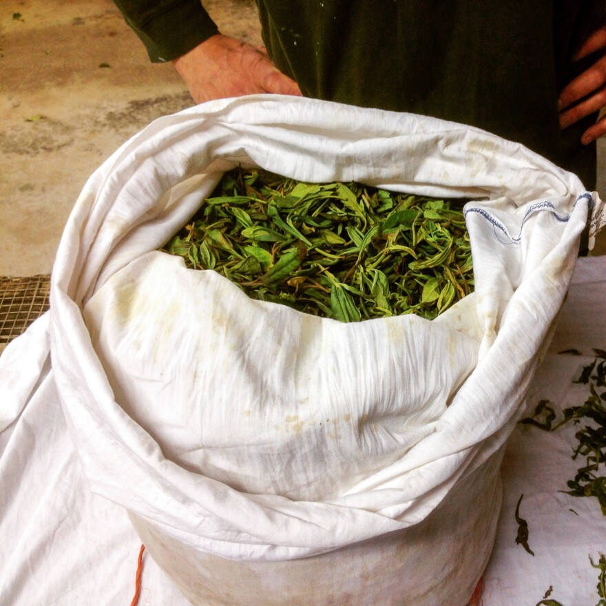 A bag of freshly harvested <em>Camellia sinensis</em> leaves.