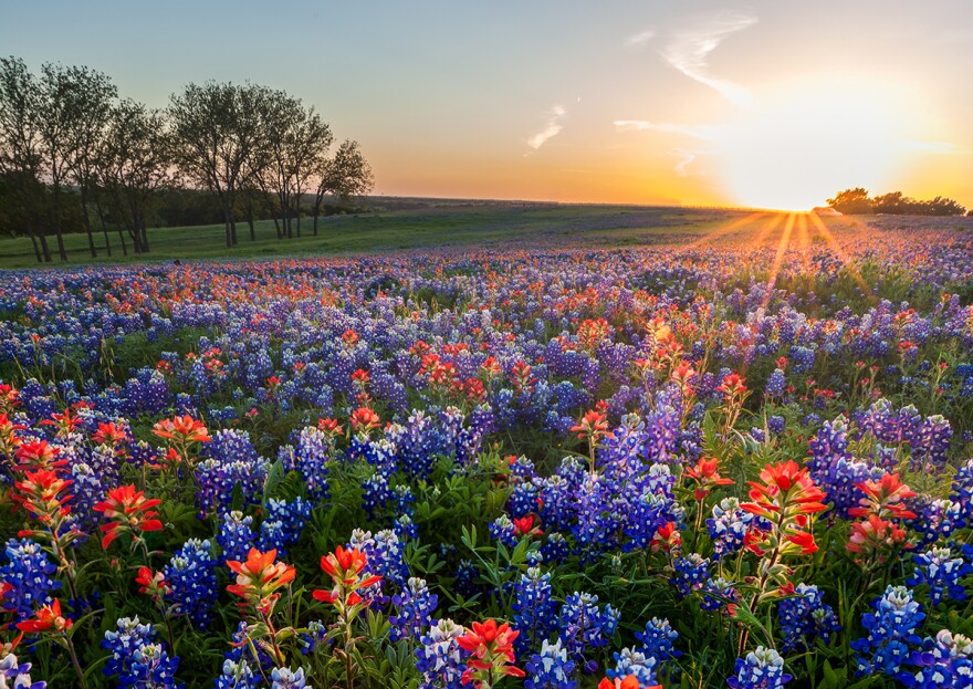 Bluebonnets and Texas Indian paintbrush in Ennis, Texas