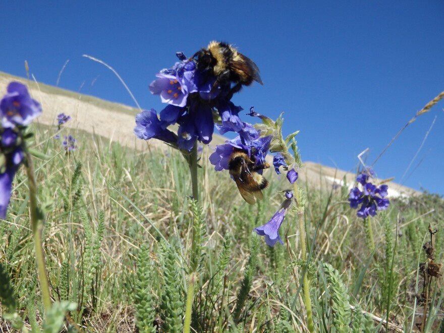 Bombus balteatus, commonly known as the golden-belted bumblebee, pollinates a sky pilot in Colorado.