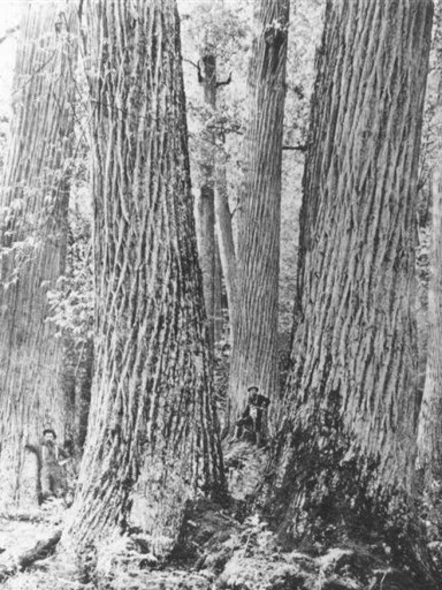 """In the early 1900s, two men stand amid five American chestnut trees near Townsend, Tenn. Once called """"the Redwoods of the East"""", chestnuts made up 25 percent of Northeastern American forests."""