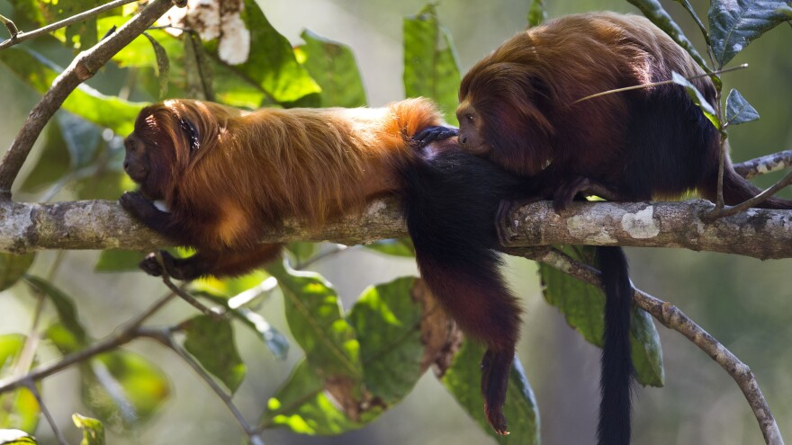 Golden lion tamarins are one species that are largely monogamous.
