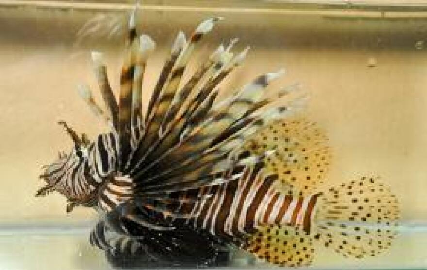 A lionfish in a tank