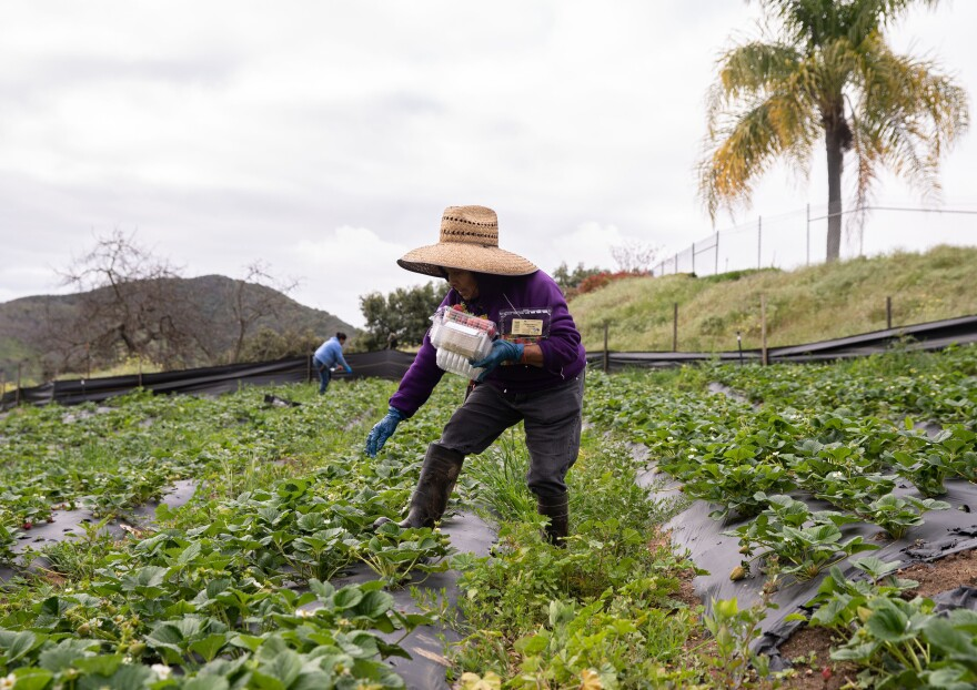 Farmworkers pick organic strawberries at Stehly Farms Organics in Valley Center, Calif., on March 25.