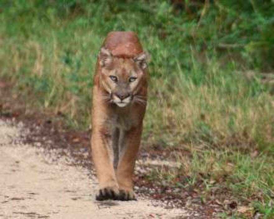 Conservationists say the land in question is in the middle of a critical habitat for the Florida panther.